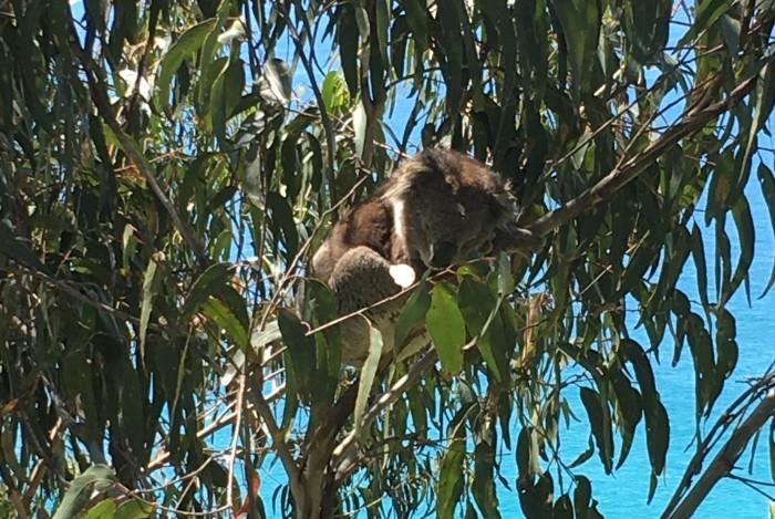 Wye River koala - cropped